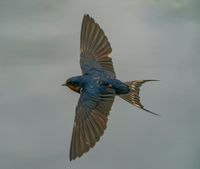 Swallow Sweep - Barn Swallow I...