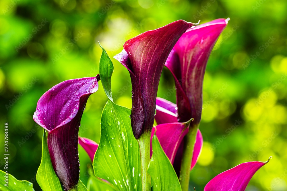Fototapety, obrazy: Purple Calla Lily Flower