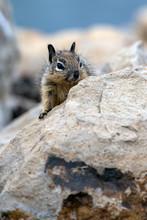 Furry Juvenile Ground Squirrel...
