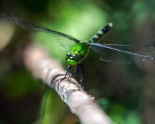 Eastern Pondhawk Dragonfly Along The Nature Trail In Pearland!