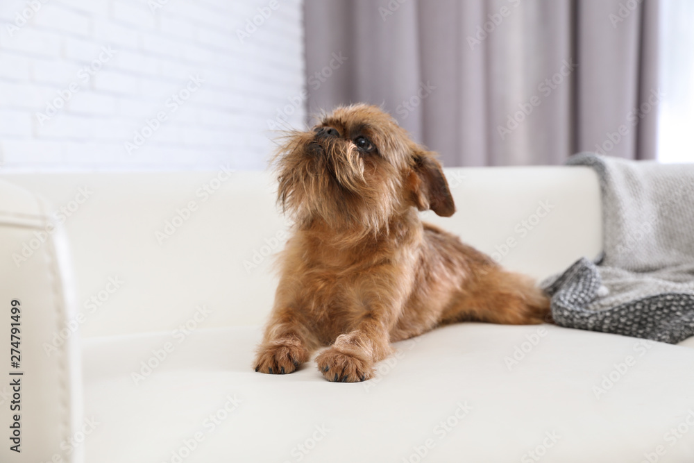 Fototapety, obrazy: Adorable Brussels Griffon dog on sofa at home. Cute friendly pet