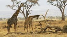 Male Giraffe Stands Behind A Female At Amboseli