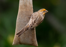A Yellow Variant House Sparrow At Feeder