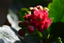 Small Pink Flower With Large G...
