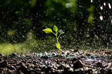 Small Young Plant Sprout Under The Strong Heavy Rain