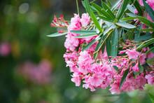 Close Up Several Pink Oleander...