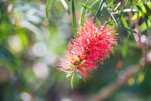 Close Up Red Bottlebrush Or Ca...