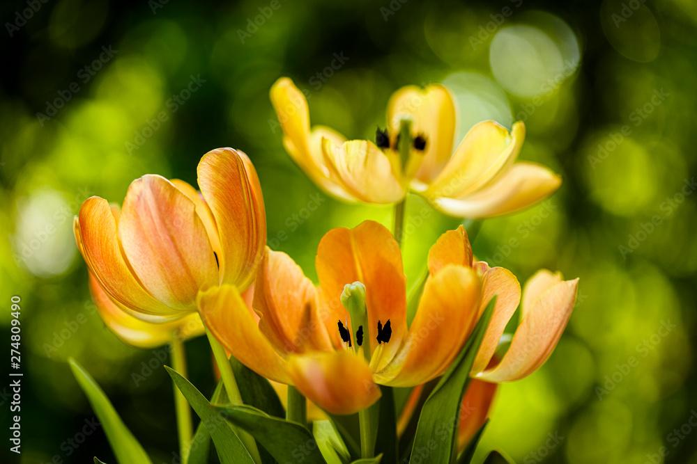 Fototapety, obrazy: Kwitnące kwiaty tulipanów