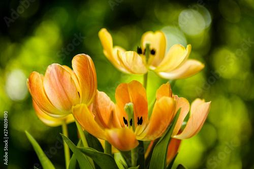 Obraz Kwitnące kwiaty tulipanów - fototapety do salonu