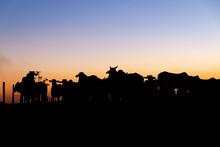 Nelore Silhouette At Sunset. B...