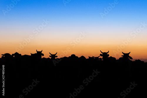 Nelore silhouette at sunset Wallpaper Mural