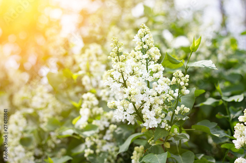 Wall Murals Lily of the valley a sprig of white lilac outdoors. May flowers. Spring gentle background