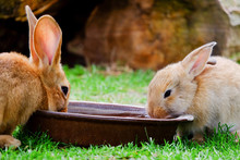 Two Brown Rabbits Drinking Wat...