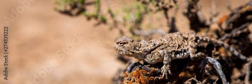 Photo Phrynocephalus helioscopus agama close portrait of in nature
