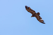 Steppe Eagle Fly In Sky With S...