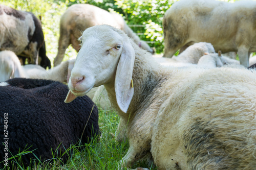 Poster de jardin Vache Sheep rest in the grass