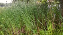 Tall Grasses, Cattails Blowing In The Wind Beside Pond On A Rainy Day