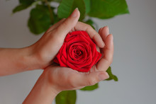 Red Rose In The Woman's Hands. Care
