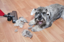 Vacuum Cleaner, Ball Of Wool Hair Of Pet Coat And Schnauzer Dog On The Floor.   Shedding Of Pet Hair, Cleaning