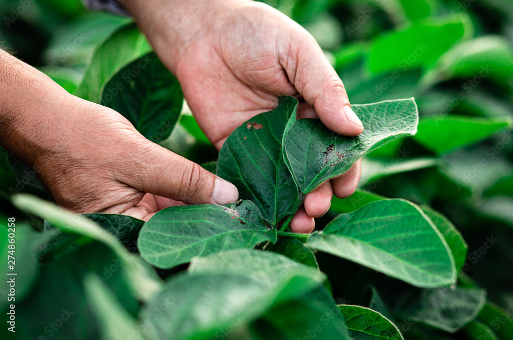 Fototapety, obrazy: Close up of senior farmer hands examining soybean crop in field, hi is looking at caterpillar on leaf.