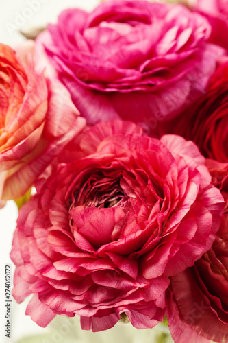 Pink ranunculus (buttercup) on white background