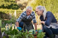 Senior Couple Picking Vegetables