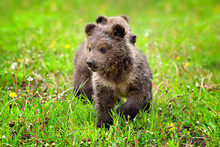 Two Little Brown Bear Cub On The Green Grass