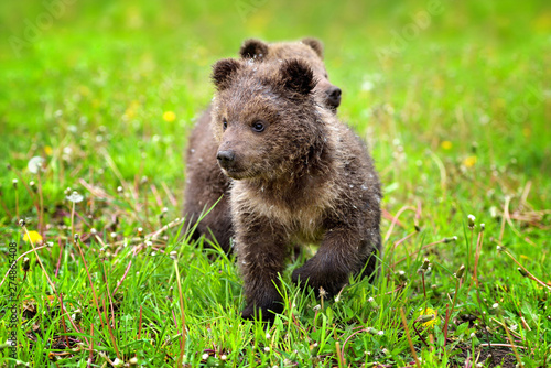 Canvastavla Two little brown bear cub on the green grass