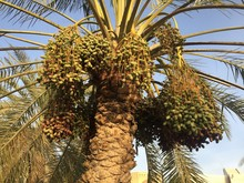 Dates On A Palm Tree In Muscat, Oman