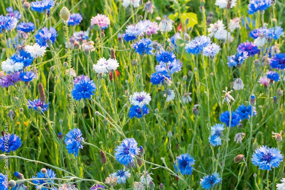 Fototapety, obrazy: fleurs des champs