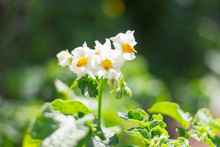 White Flowers,potatoes, New Potatoes Blooming In The Field