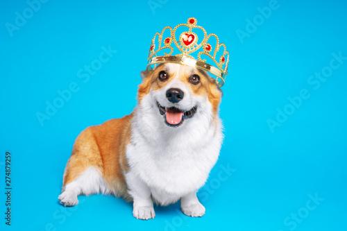 Zabawny pies pembroke walijski corgi w koronie, jak król, książę na niebieskim tle studio