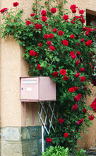 Mailbox With Blooming Red Roses, Romantic