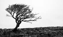 The Bare Branches Of A Winswept Tree In Winter At Malham In The Yorkshire Dales, England.