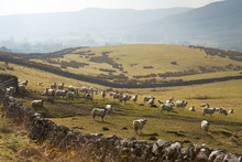 A Flock Of Sheep In A Field At...