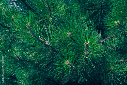 Vászonkép  Green fir branch of a christmas tree