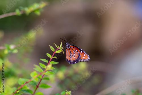 An orange butterfly in the garden