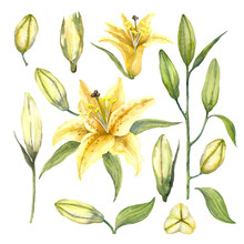 Set Of Yellow Oriental Trumpet Lilium 'Manissa'. Yellow Flowers Of Lilium And Lily Buds. Watercolor Illustration.