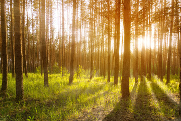 Sunset or sunrise in the forest, the sun's rays make their way through the trees. Forest landscape. Tinted, soft focus.