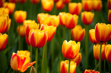 Bicolored Red And Yellow Tulip...