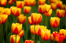 Bicolored Red And Yellow Tulips In Sunny Day Fully Open With Green Background Close Up