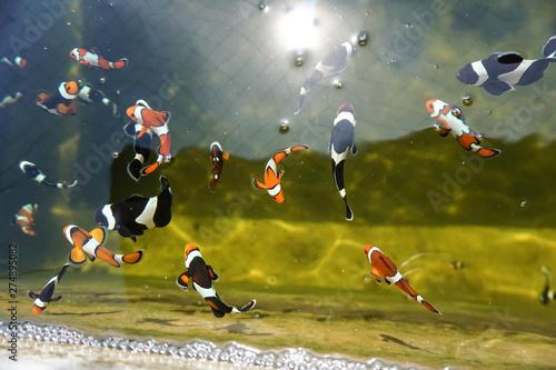 Fotografie, Tablou  Amphiprion percula