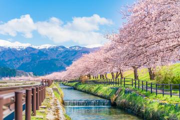 日本の春 富山県入善町 黒部川堤防桜堤の桜並木