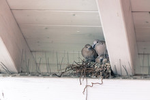 Young Birds And Her Mother Are Sitting In A Bird Nest