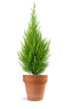 Cypress Plant In Vase