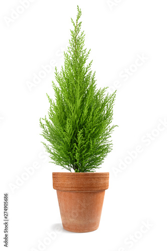 Cypress plant in vase Wall mural