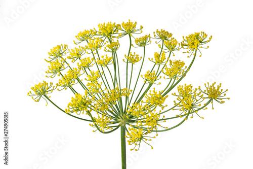 Cuadros en Lienzo Wild fennel flowers