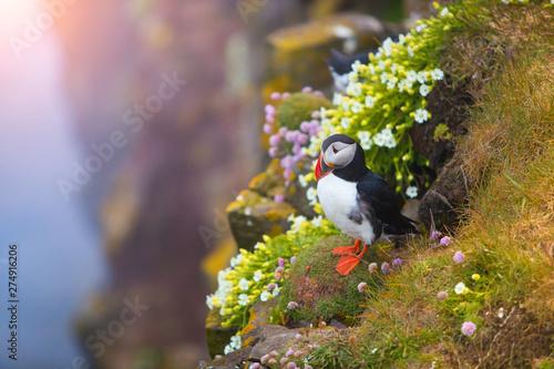 Fotografia Cute iconic puffin bird, Iceland