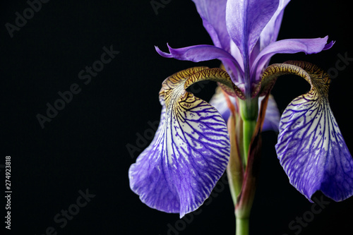 purple iris flower on black background