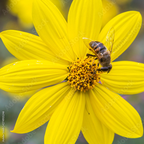 Acrylic Prints Flower shop bee at work